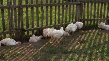 Broiler kyckling och svart höna nära stängslet leta efter mat i gård — Stockvideo