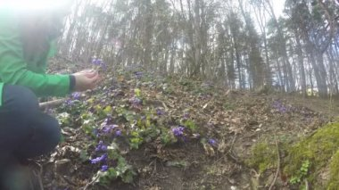 Girl gather hepatica on edge of forest on sunny early spring. 4K — Stock Video