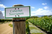 Cabernet sauvignon vineyard in cape town, south africa — Stock Photo