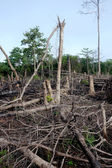 Trees in a jungle after slash and burn deforestation — Stock Photo