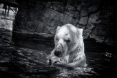 Chasseur d'ours blanc — Photo