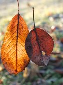 Two stuck together autumn leafs — Stock Photo