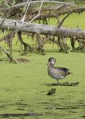 Duck in wetlands. — Stock Photo