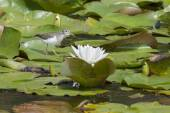 Sandpiper by water lily. — Stock Photo
