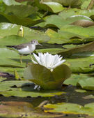 Sandpiper behind water lily. — Stock Photo