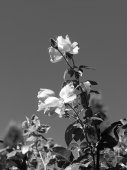B&W of rose plant. — Stockfoto