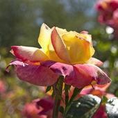 Vibrant colored rose. — Stock Photo