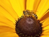 Close up of bee on flower. — Stock Photo