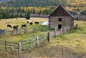 Cows in barnyard. — Stock Photo