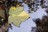 Vine maple leaf on water. — Foto de Stock