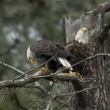 Two eagles in a tree. — Stock Photo #60954325