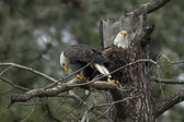Two eagles in a tree. — Stock Photo