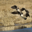 Geese flying in to water. — Stock Photo #65322407