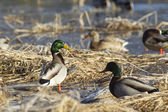Gathering of Mallards. — Stockfoto