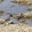 Northern Pintail couple. — Stock Photo #67644525