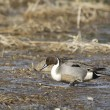 Northern pintail wading. — Stock Photo #67644535
