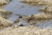 Northern Pintail couple. — Stock Photo