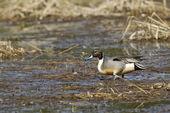Pintail wades through wetlands. — Stock Photo