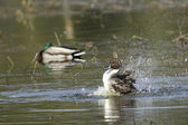 Pintail splashes around in water. — Stock Photo