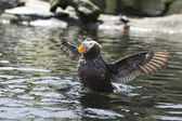 Puffin flaps its wings. — Stock Photo