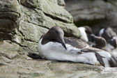 Close up of common murre. — Stock Photo