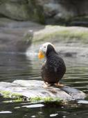 Puffin at the zoo. — Zdjęcie stockowe