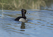 Ring necked duck. — Stock Photo