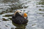 Profile of puffin. — Stock Photo