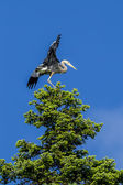Heron on tree flaps wings. — Stock Photo