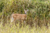 Deer in grass looks at Camera. — Stock Photo