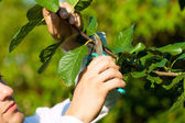 Man is cutting fruit tree with trimmer — Stock Photo