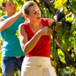 Winegrower picking grapes at harvest time — Stock Photo #71510737