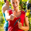 Winegrower picking grapes at harvest time — Stock Photo #71510799