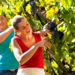 Winegrower picking grapes at harvest time — Stock Photo #71510979