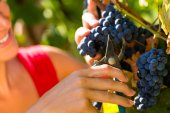 Woman picking grapes with shear — Stock Photo