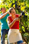 Winegrower picking grapes at harvest time — Stock Photo