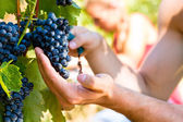 Winemaker picking wine grapes  — Stock Photo