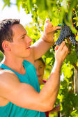 Man picking grapes with shear — Stock Photo