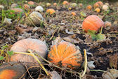 Pumpkins patch field with big gourds — Stock Photo