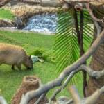 Capybara — Stock Photo #61302719