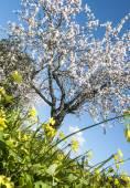 Blossoming almond tree — Foto de Stock