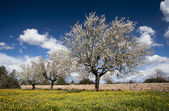 Blossoming almond tree — Stock Photo