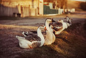 Domestic Geese Outdoor — Stock Photo