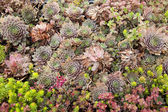 Rosettes of Hens and Chicks (Echeveria elegans)  — Stock Photo