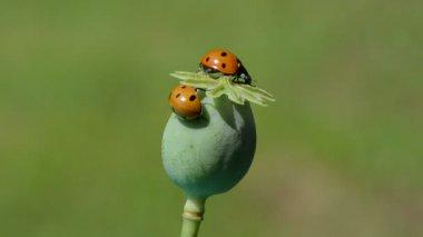 Two beautiful lady luck. ladybug ladybird on poppy head — Vídeo stock