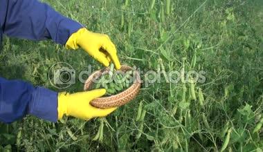 Farmer  with protective glove pick ripe green pea pod on field — Stock Video