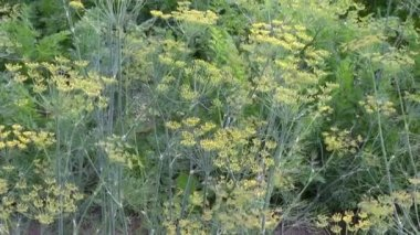 Culinary dill herbs in garden and wind — Stock Video