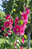 Beautiful pink hollyhock  Alcea rosea in garden — Stock Photo