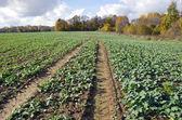 Rapeseeds seedling crop field in autumn time — Stockfoto