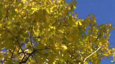 Beautiful golden autumn aspen forest and wind — Video Stock